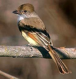 Nuttings Flycatcher