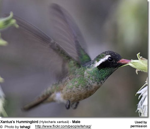 Xantuss Hummingbird