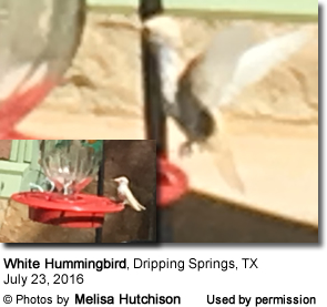 White Hummingbird photographed in Texas