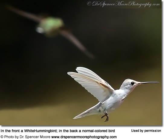 White Hummingbird (probably a Black-chinned)