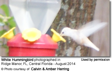 White Hummingbird in Central Florida