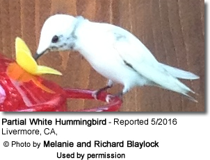 Partial White Hummingbird sighted in California