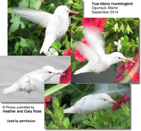 Albino Hummingbird in Maine