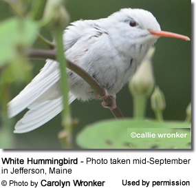 White Hummingbird in Maine