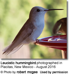 White Hummingbird photographed in New Mexico