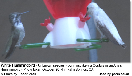 White Hummingbird in Palm Springs