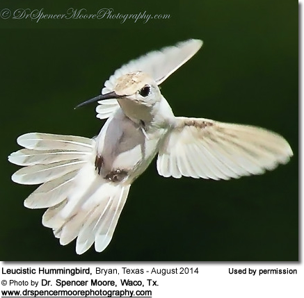White Hummingbird photographed by Dr. Spencer Moore from Waco, Texas