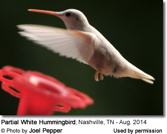 White Hummingbird in Tennessee