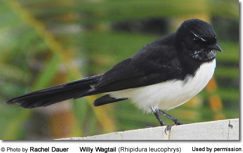Willy Wagtail (Rhipidura leucophrys) by Rachel Dauer