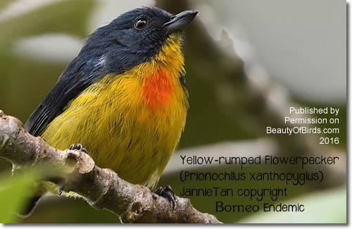 Yellow-rumped Flowerpecker, Prionochilus xanthopygius
