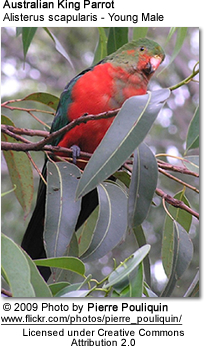 Immature Male Australian King Parrot
